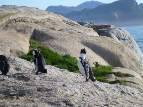 南アフリカのケープペンギン (13)