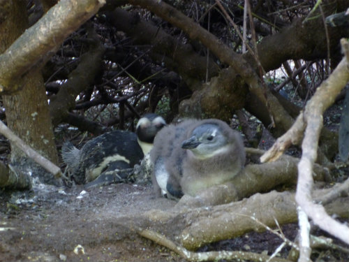 南アフリカのケープペンギン (6)