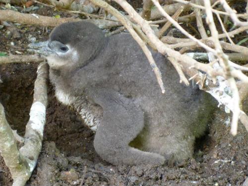 南アフリカのケープペンギン (3)