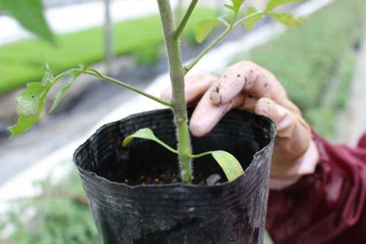 [桃太郎トマトの育て方]接ぎ木苗の植え方 (1)