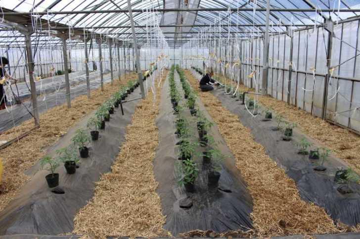 [桃太郎トマトの育て方]接ぎ木苗の植え方 (13)