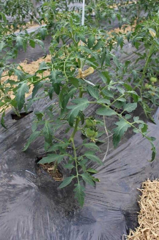 [桃太郎トマトの育て方]防虫のためのラノーテープの使用方法 (5)