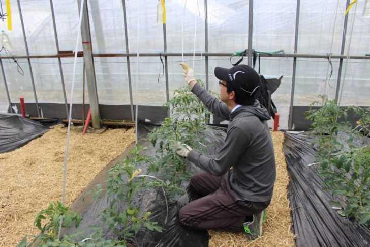 [桃太郎トマトの育て方]防虫のためのラノーテープの使用方法 (3)