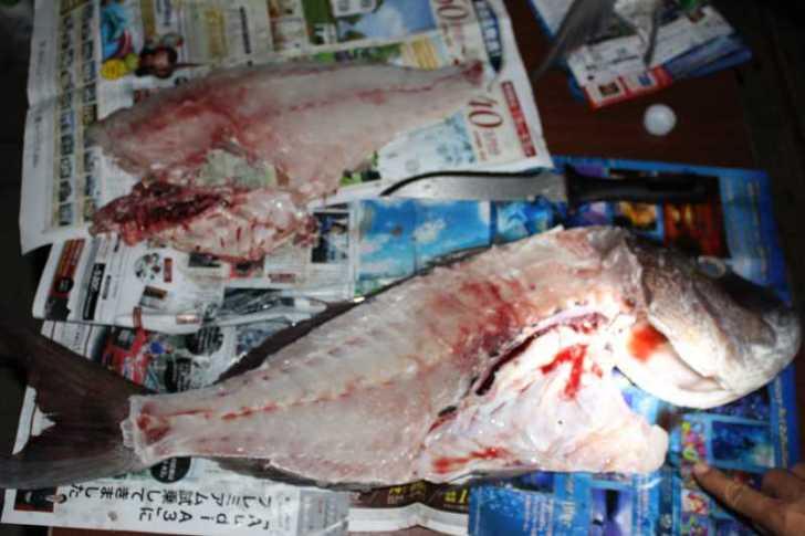 福井で魚突き!80cm弱の真鯛と40cm強の石鯛とキジハタとったどー!! (20)