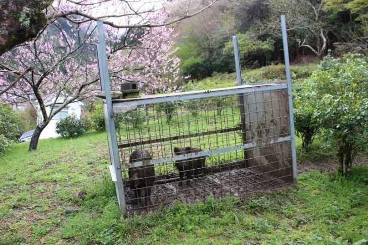 イノシシの解体をしてきたよ!死を避ける日本社会で命をいただくということ