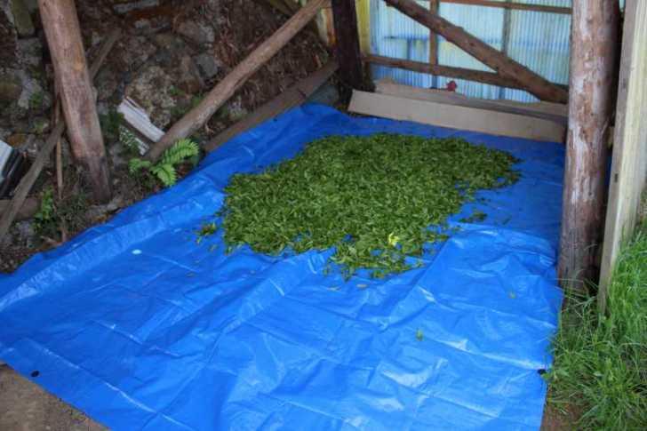 有機栽培されたお茶を手摘みしてきたよ!【愛知県新城市鈴木製茶】 (8)