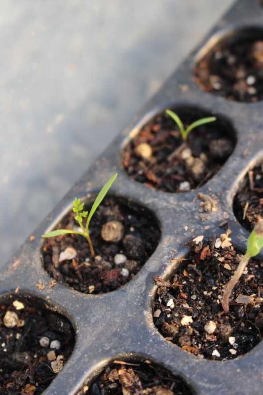 【珍しい野菜栽培】7.順調に育っている野菜があれば、発芽しない野菜も・・・ (6)
