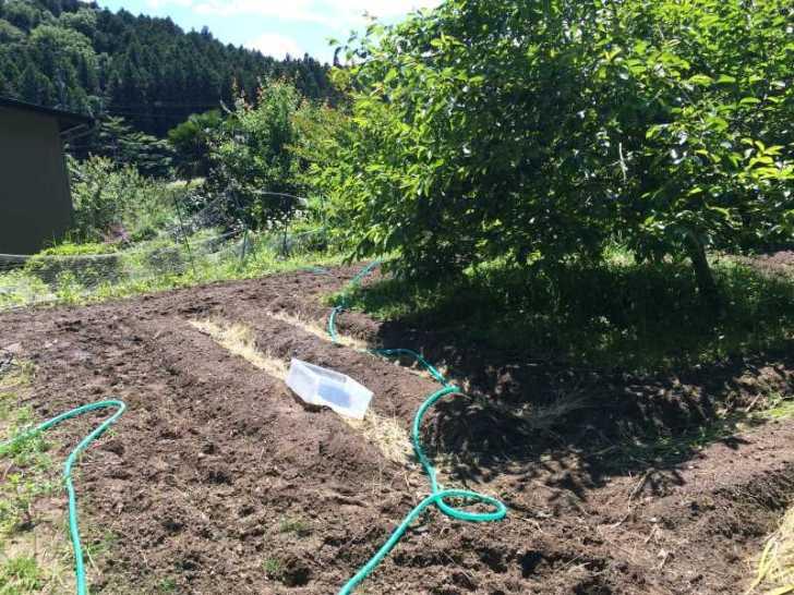 黒トマト、バースニップ、イエローキャロット、バターレタス (6)