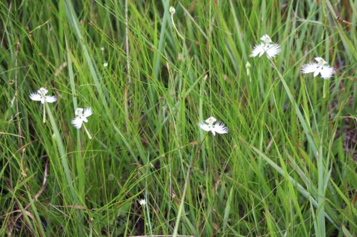 「サギソウ」がドラクエのラーミアみたいな花でめちゃくちゃかっこいい! (5)