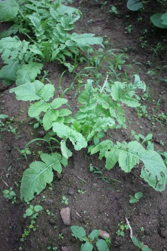 【珍しい野菜栽培】11.黒トマトとハロウィンカボチャは順調、UFOズッキーニが実をつけたよ (9)