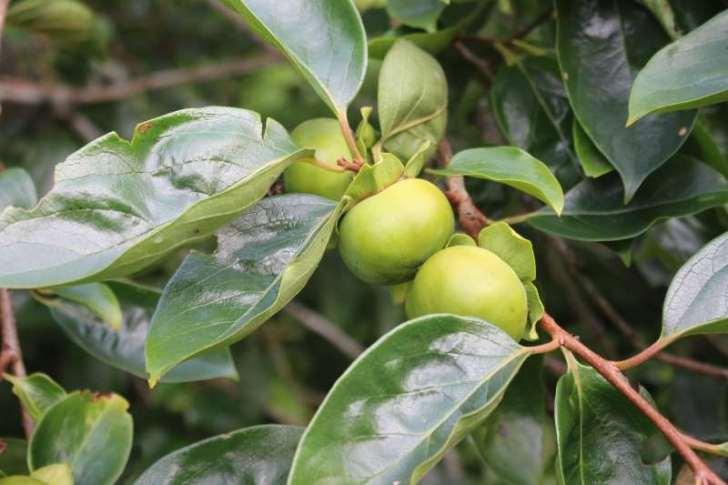 【珍しい果物栽培】2.花粉症対策の食べ物「ジャバラ」の苗が育ってきたよ! (2)