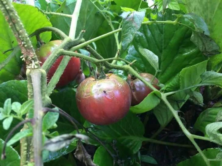 【珍しい野菜栽培】13.四葉きゅうり祭りの開催と黒トマトがいい感じ!パクチーの花が咲いたよ!