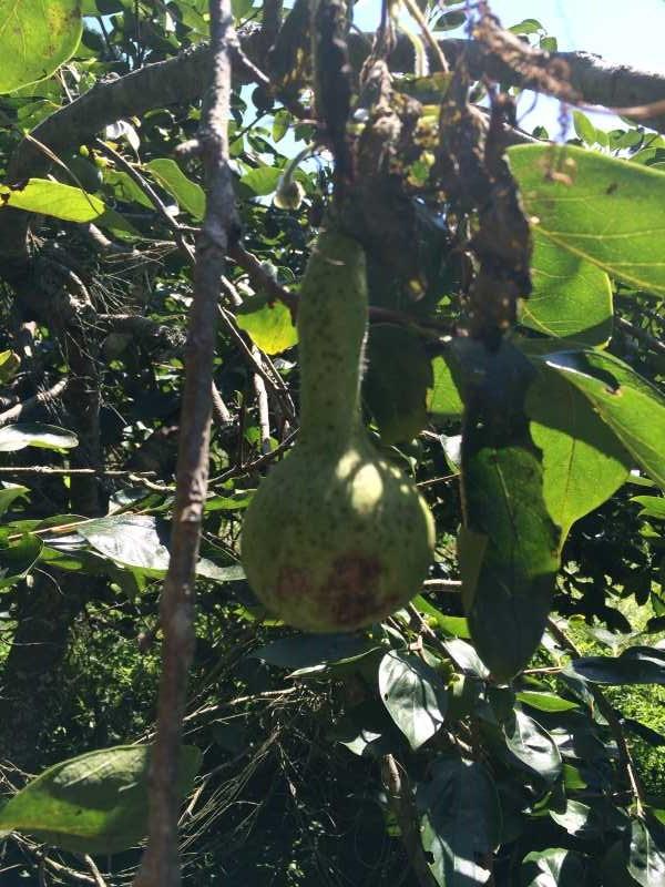 【珍しい野菜栽培】16.黒トマトが鹿に喰われた!ひょうたん死亡!ゴーヤ、枝豆、ピーマンを収穫 (2)