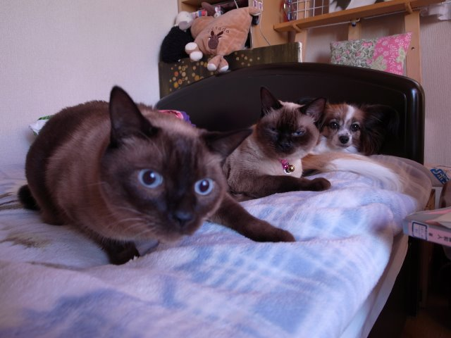 我が家のかわいい犬(パピヨン)と猫(雑種)がラインスタンプになったよ!