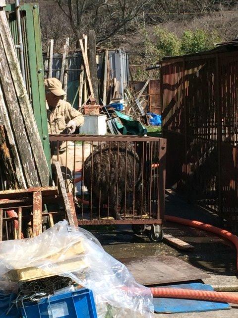 イノシシを飼育している山田英雄さん、そして解体した猪のモツ祭り!【愛知県新城市】 (3)