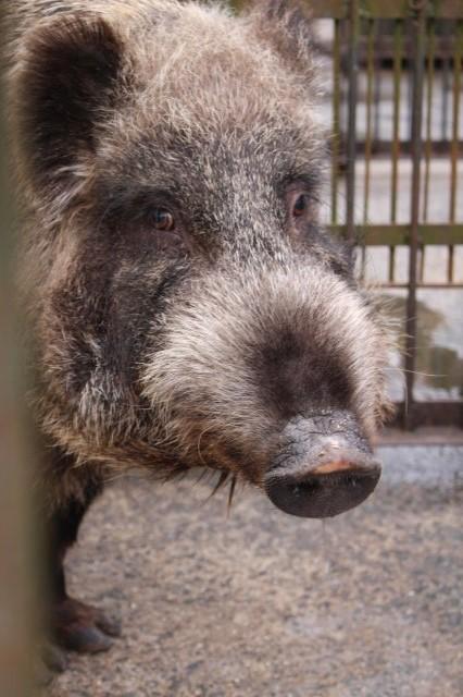 イノシシを飼育している山田さんと、解体した猪のモツ祭りでヒャッハー!【愛知県新城市】 (11)