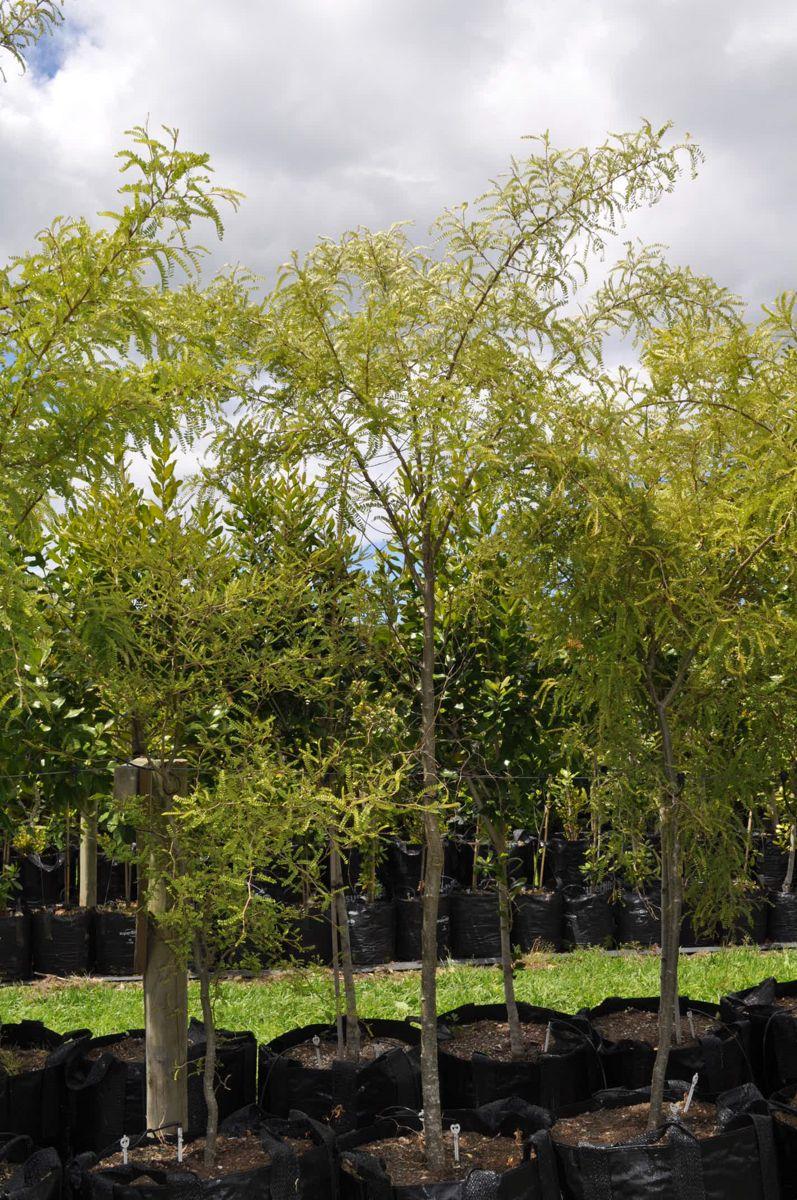 Kowhai Microphylla Sophora Microphylla Takana Native Trees