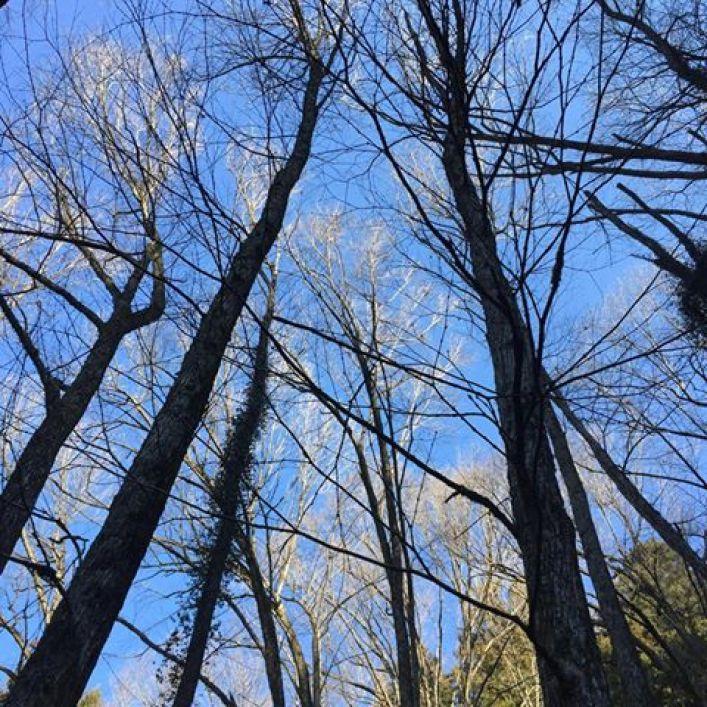 冬のカツラ林と青空