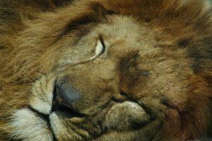 sleeping-lion-1562526-639x424