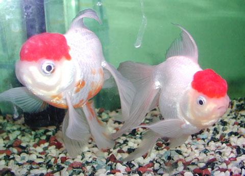 金魚の親魚