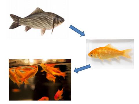 フナから金魚への変化