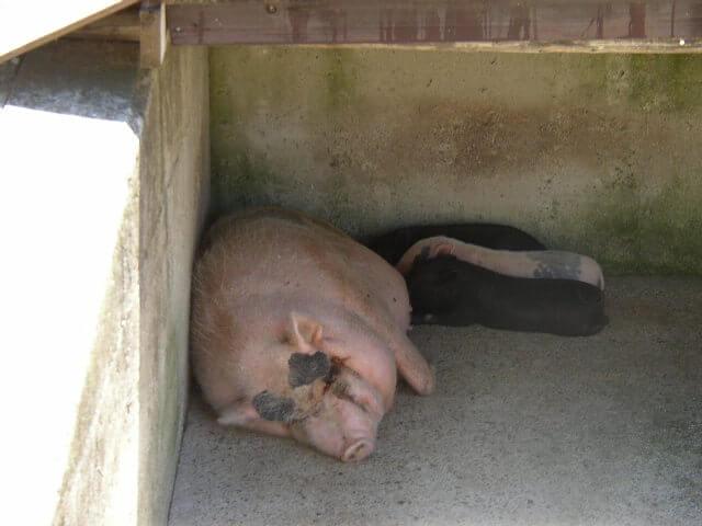 六甲山牧場豚