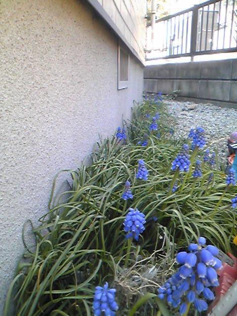 植えっぱなしのムスカリ花盛り