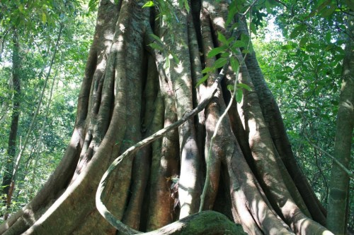 Big tree in the Periyar's Jungle