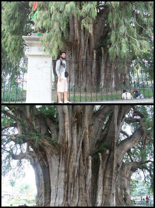 Tule Tree 2000 years old