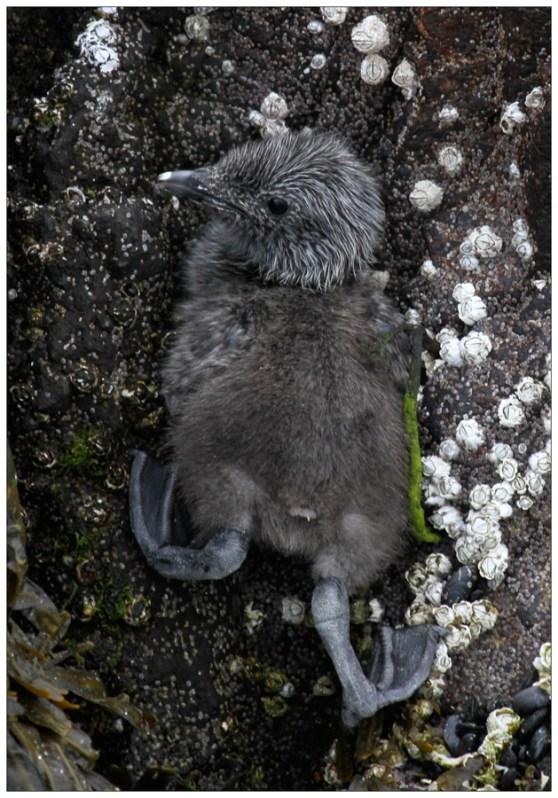 Guillemot Chick at Papey Island