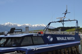 Unfortunately we didn't spot the male Giant Sperm whale that comes to feed in the bay--80% refund though!