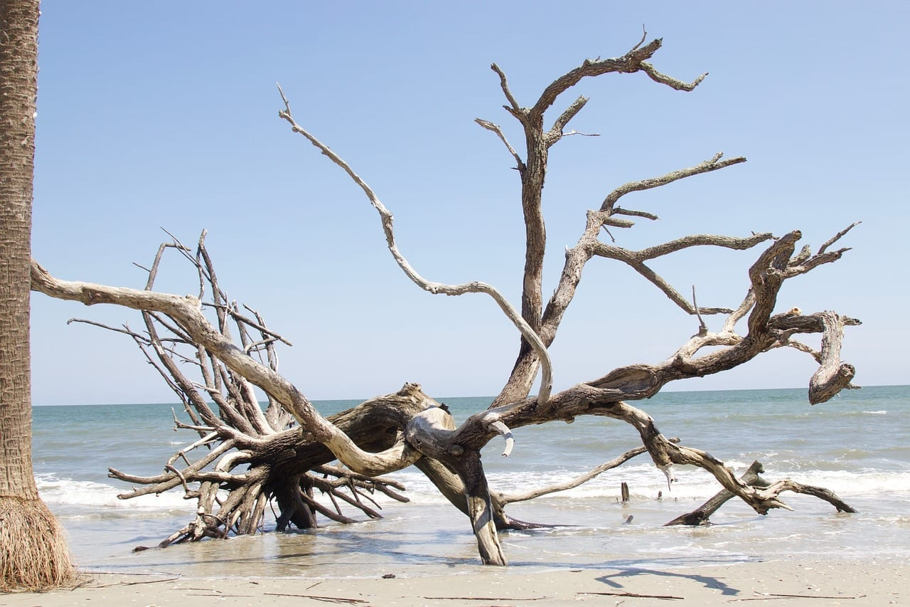 driftwood tree on the sandy edge of the Atlantic ocean at Edisto Beach South Carolina