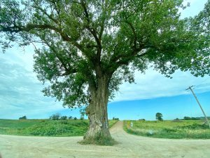 Close up shot of a large tree growing in the middle of a dirt road in rural Iowa
