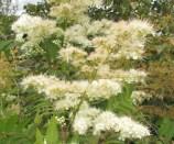 白いはぜのような花