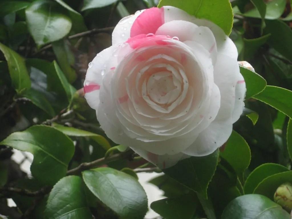 遅咲き椿 絞り乙女とミニ花瓶