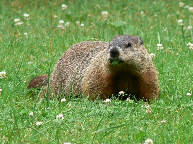 Lazy-Groundhog