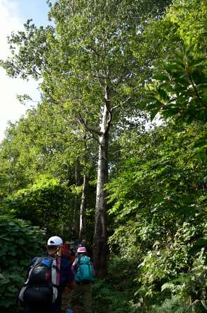 荒島岳 登山 ブナの木