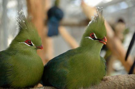 掛川花鳥園 リビングストーンエボシドリ