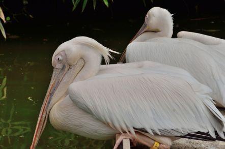 掛川花鳥園 ペリカン