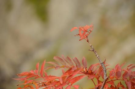 五竜岳 紅葉