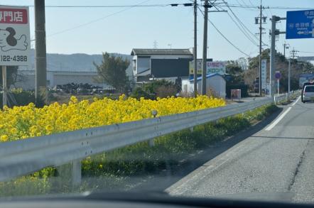 田原市 菜の花畑