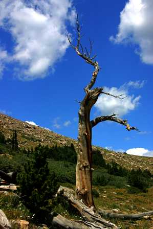 Bristlecone Pine Tree, Mt. Evans