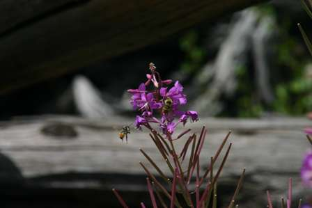 Bees and Flowers, Rocky Mountain National Park (RMNP)