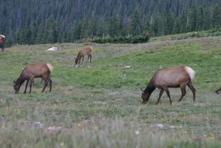 Elk, Medicine Bow Curve, Rocky Mountain National Park (RMNP)