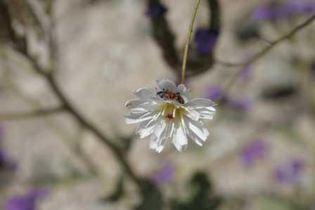 Wildflowers, Keane Wonder Mine, Death Valley National Park