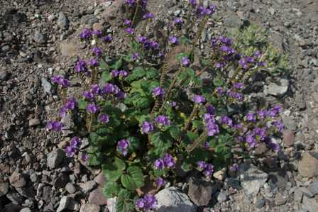 Death Valley National Park - Natural Bridge Trail - Wildflowers