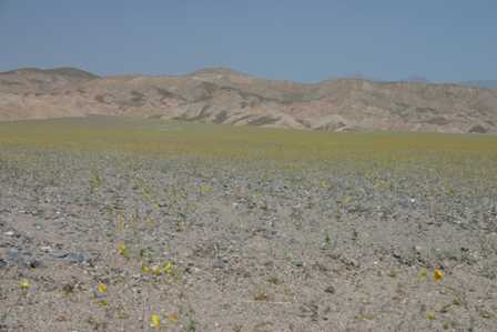 Wildflowers at Stovepipe Wells, Death Valley