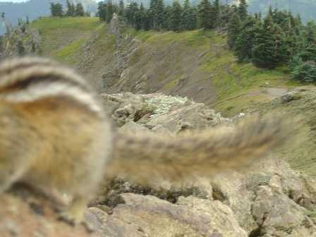 Chipmunks, Olympic National Park