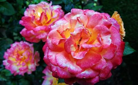 1050_11e_rosegarden