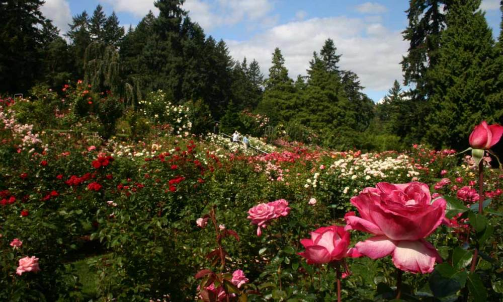 Portland S Washington Park International Rose Test Garden